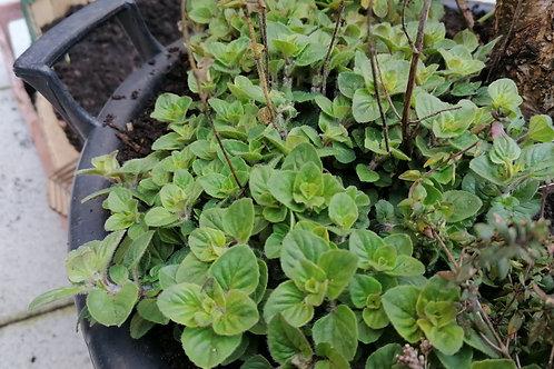 Majoram seedlings