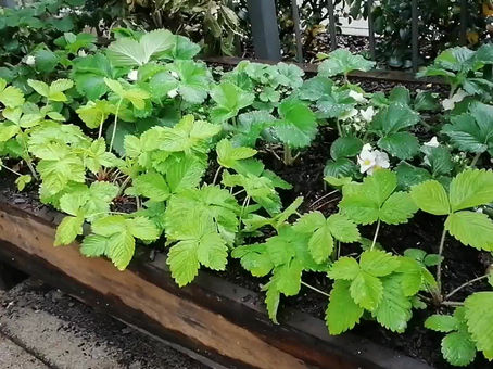 How to make a SIDE PLANTER for RASPBERRIES