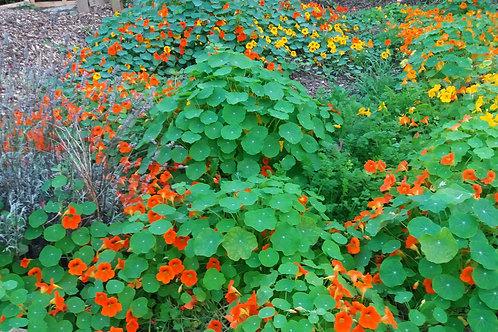 Nasturtium Mixed Seeds