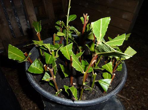 Bay Leaf Tree cuttings