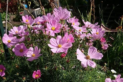 Cosmos seedlings