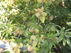 Almonds read to harvest