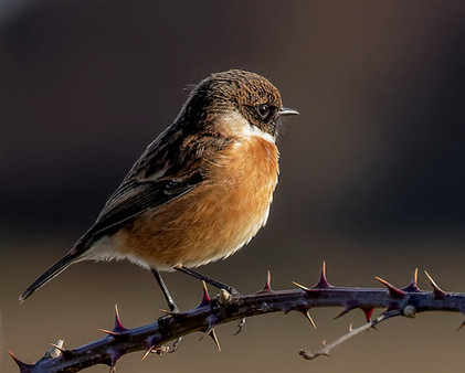 2019RFNHM_PDI_168 - Stonechat by Terry Hanna. Commended