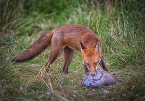 2019RFNHM_PDI_015 - Fox with Pigeon by Terry Hanna.