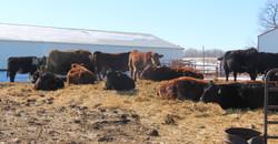 Bred heifers enjoying some sun
