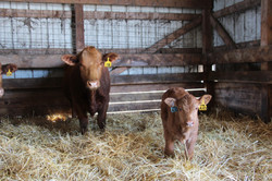 Y196 Tornado cow & Hooks Yukon calf