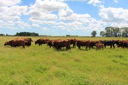 Heifers & a few cows in pasture June
