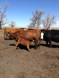 Y9 Red Bull cow w/ her 2014 calf