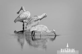 Spoonbills in Black and White