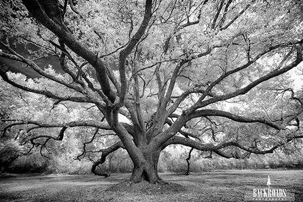 Gnome Oak