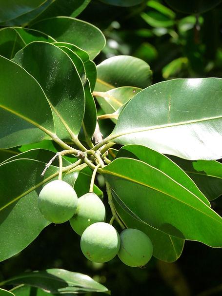 Calophylle.jpg