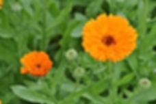 Calendula_officinalis_1a.JPG