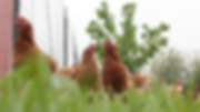 Chickens-Paddock-Sprouts-2017-2 copy.png