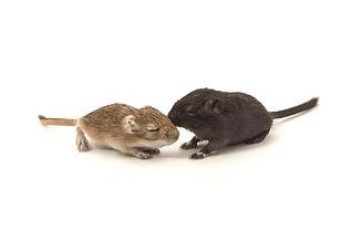 Litter Mongolian gerbil, Desert Rat on white background_edited.jpg