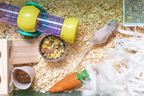 Pet gerbil playing with cardboard tube i