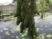 Hornwort Ceratophyllum demersum  waterga