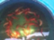 fancytail goldfish  watergardendesignbui