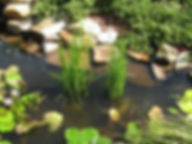horsetail rush scouring rush equisetum h