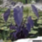 Black Magic Taro Colocasia esculenta wat
