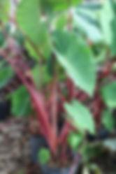 Red Stem Taro calocasia  watergardendesi