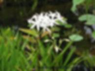 bog lily swamp lily crinum americanum  w