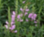 Obiedant Plant physostegia leptophyllous