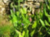 blue pickerel pontederia cordata  waterg