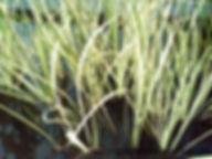 sweetflag variegated acorus calamus vari