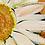 Thumbnail: DAISY CHAIN | Fine Art Giclee Print