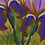 Thumbnail: PSYCHEDELIC IRIS | Limited Edition Fine Art Print