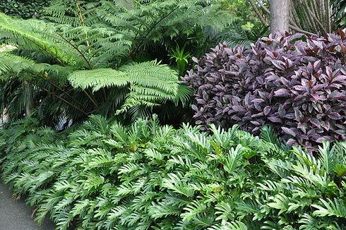 Philodendron Xanadu.jpg