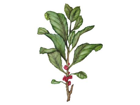 Exploring The Benefits of Yerba Mate Tea