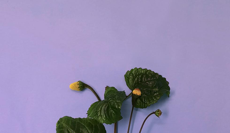 brede_violet.png