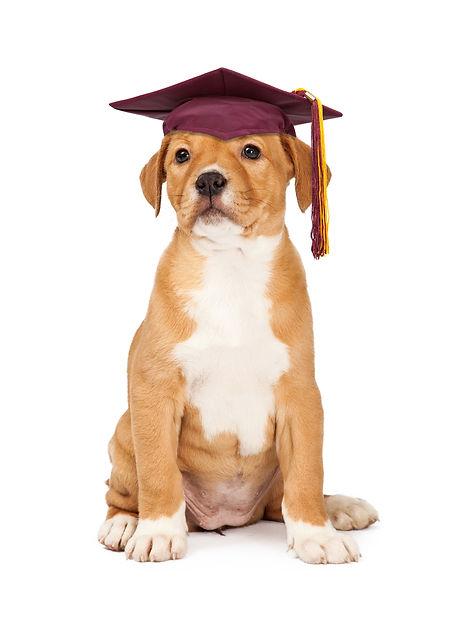 Cute puppy wearing school graduation cap