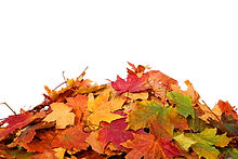Pile of autumn colored leaves isolated on white background.A heap of different maple dry leaf .Red a