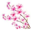 Cherry blossoms opposit.jpg