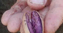 Kakaobohne fermentiert