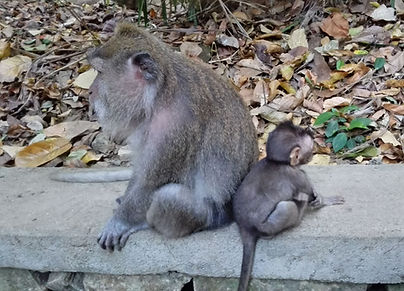 Monkey Uluwatu tempel