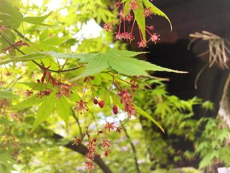 名残の桜。那古野神社