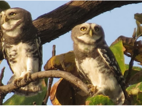Why we should care two hoots for the Forest Owlet