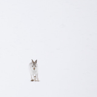 Minimal mountain hare