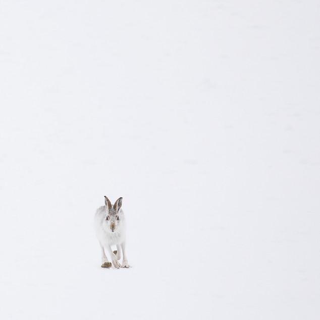 Minimal mountain hare