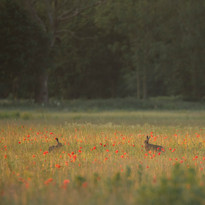 Romancing in the poppies