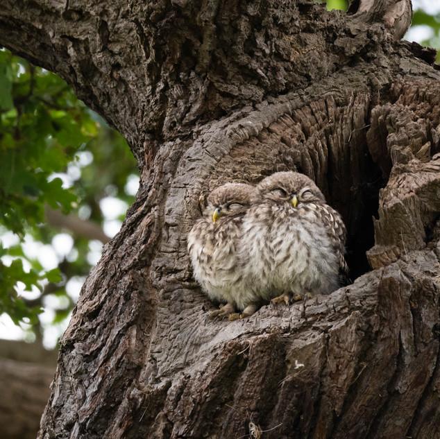 sleepy little owls