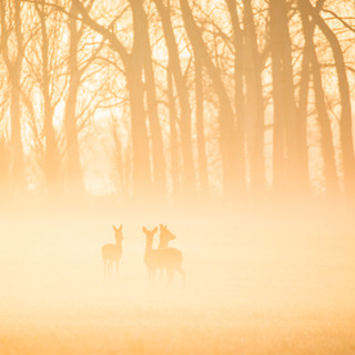 Roe deer in mist