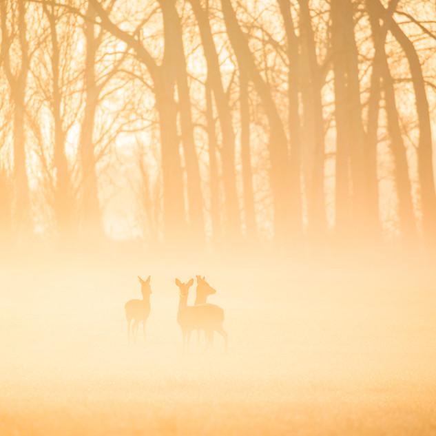 Roe deer in mist