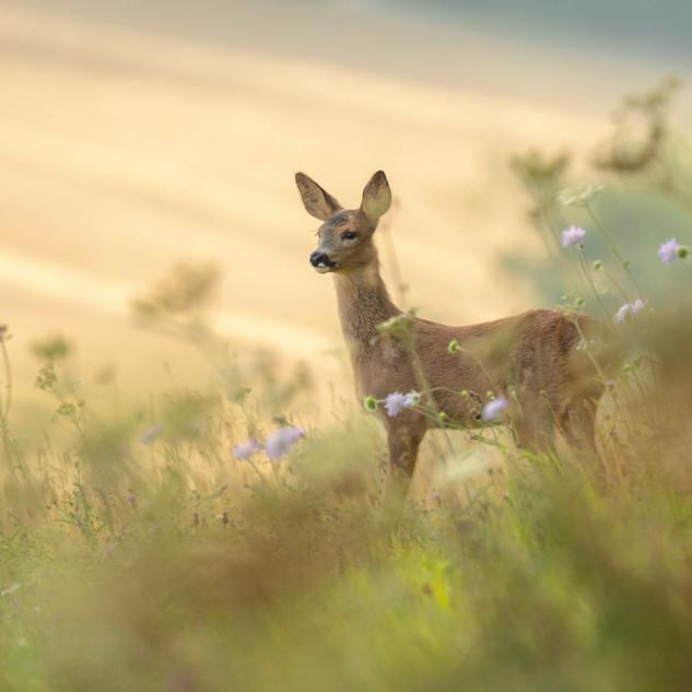 Roe kid in meadow