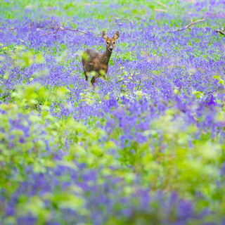 Roe in bluebells