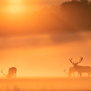Sunrise stags
