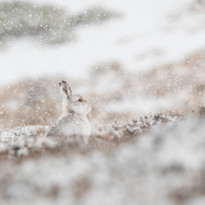 Winter Camouflage hare